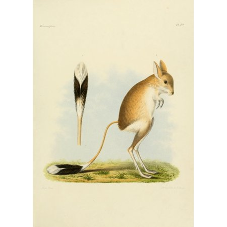 Des Mammif res 1868 Jerboa Poster Print by Huet