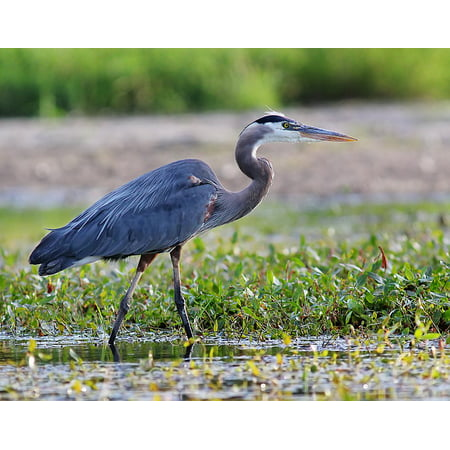 Canvas Print Animal Pond Wildlife Nature Blue Heron Lake Bird Stretched Canvas 10 x 14 ()