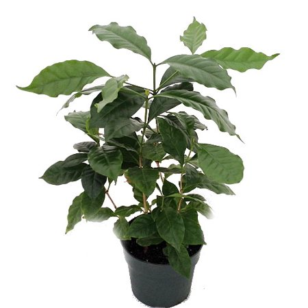 Hirt's Arabica Coffee Bean Plant - 6