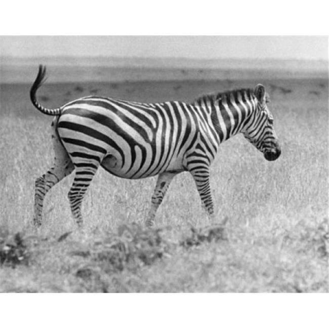 Posterazzi SAL9903303 Zebra Walking in a Field Poster Print - 18 x 24 in. - image 1 de 1