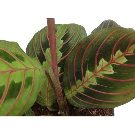 Hirt's Red Prayer Plant - Maranta - Easy to Grow House Plant -4