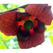 Paw Paw Trees - 2 Plants - Banana fruit - Asimina triloba - PawPaw - 3 25