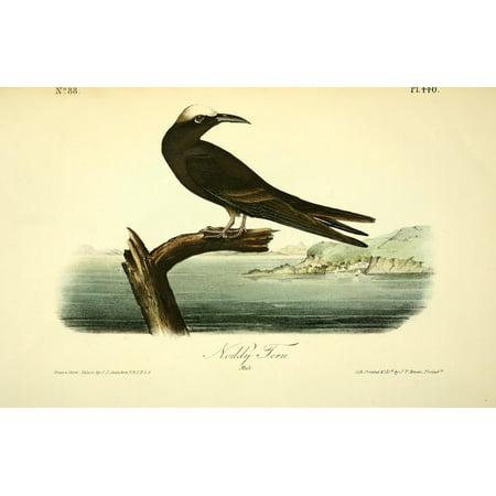 Birds of America 1844 Noddy Tern Canvas Art - JJ Audubon (18 x 24)