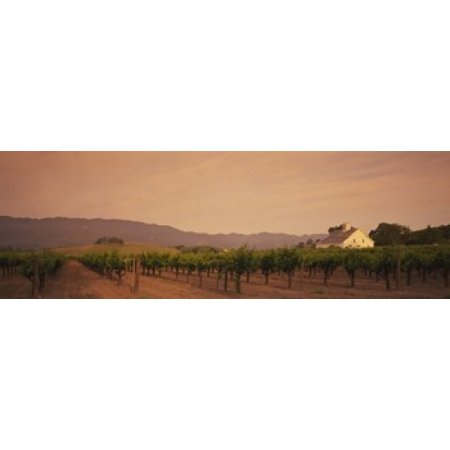 Trees In A Vineyards Napa Valley California USA Poster Print - Usa Nap