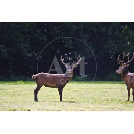 Pair of Red Deer Stags Prowling for Females during Rut Season in Autumn Fall Print Wall Art By Veneratio](Deer Skeleton For Sale)