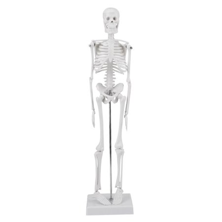 Lv. life Human Skeleton Model, Medical Anatomical Life Size Skeleton Model with Stand and Base for Doctors, Chiropractors, Acupuncturist, Physical Therapist (45cm / - Life Size Skeletons
