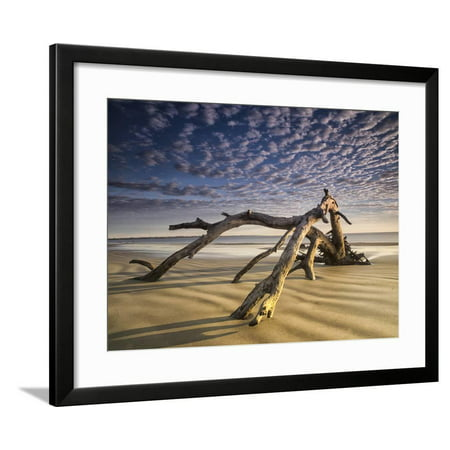 Looking Like a Sea Serpent, a Piece of Driftwood on the Beach at Dawn in Jekyll Island, Georgia Framed Print Wall Art By Frances