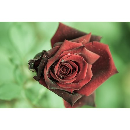 LAMINATED POSTER Flower Dew Red Rose Close Dark Rose Bloom Poster Print 11 x 17 - Red Oak Laminate