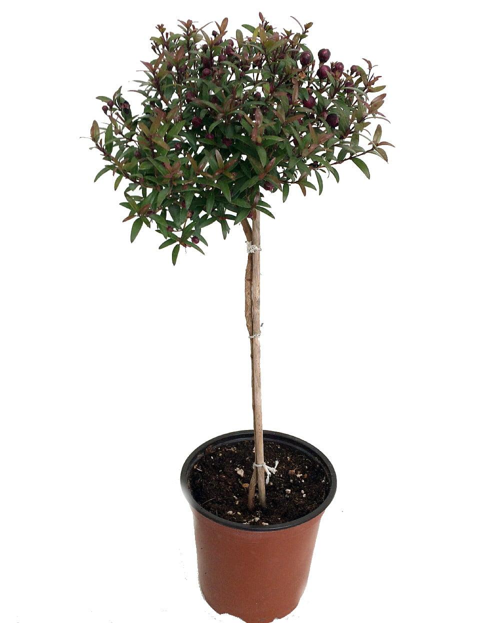 Biblical Myrtle Herb Plant Myrtus Ancient Herb 4 5 Pot Topiary Walmart Com Walmart Com