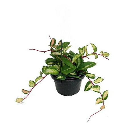 Plant Wax - Lemon & Cream Wax Plant - Hoya - Great House Plant - 6