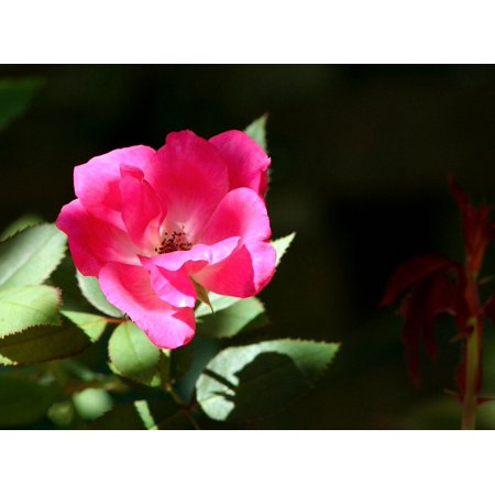 LAMINATED POSTER Floral Garden Flower Pink Old Time Rose Flora Poster Print 24 x 36