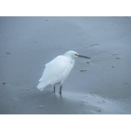 Ebbets Framed (Framed Art for Your Wall Beak Wildlife Animal Bird Egret Avian Feathers 10x13 Frame )