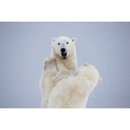 Polar Bears Play Fighting Along The Shores Of Hudsons BayChurchill Manitoba Canada PosterPrint ()