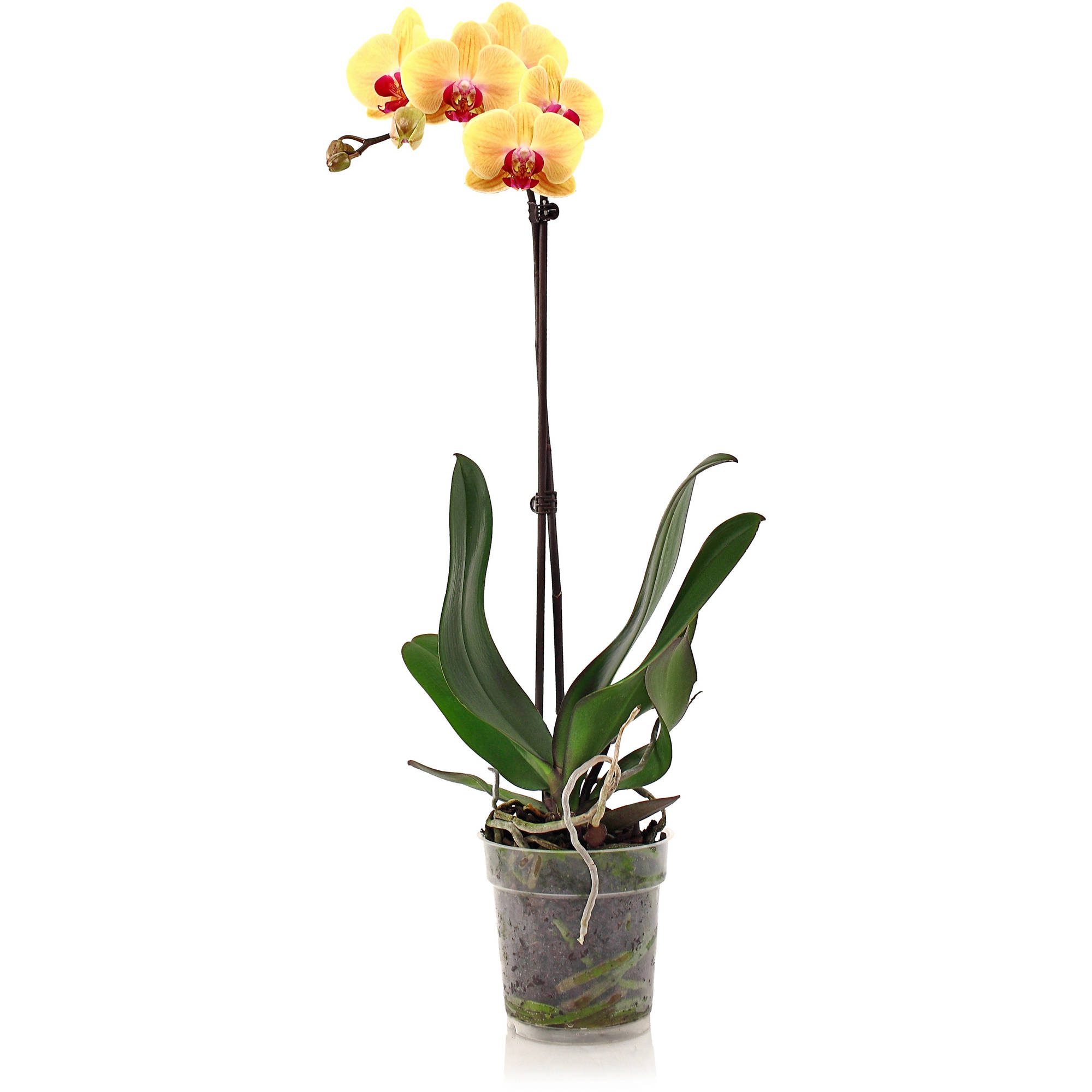 "Image of 5"" Phalaenopsis Orchid in Assorted Colors"