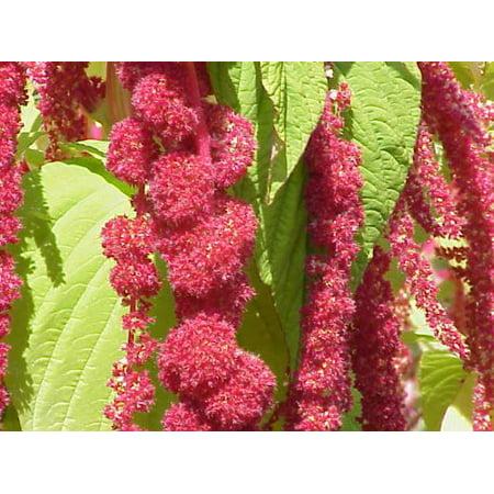 Amaranthus Caudatus Red Tail or Love Lies Bleeding Nice Garden Flower 10,000 (Amaranthus Spray)