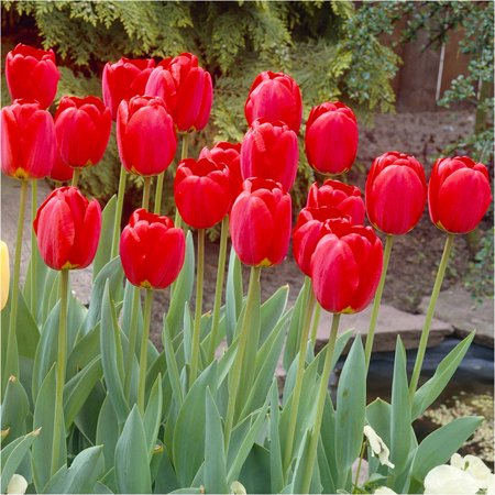 Image of Bloomsz Darwin Tulip Red Oxford Flower Bulb, 8-Pack