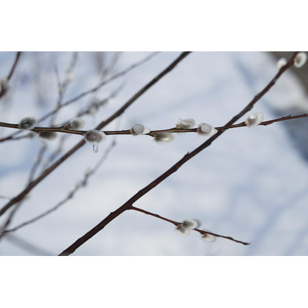 LAMINATED POSTER Too Early End of Winter Pussy Willow Frozen ICY Poster Print 11 x 17