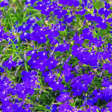 Lobelia Flower Garden Seeds Palace Series Royal Dark Blue 1000