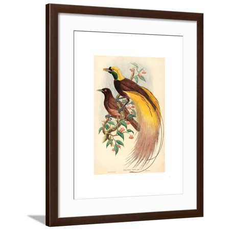 Bird of Paradise (Paradisea Apoda), Published 1875 1888, Hand Colored Lithograph Framed Print Wall Art By Gould & Hart