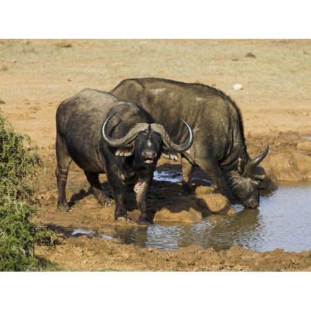 Cape Buffalo, Syncerus Caffer, at Water, Addo Elephant National Park, South Africa, Africa Print Wall Art By Steve & Ann