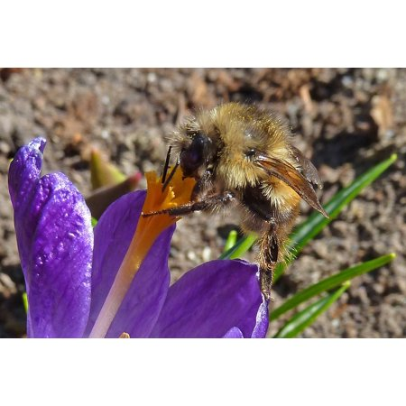 Framed Art For Your Wall Crocus Spring Nectar Insect Bumble Bee Nature 10x13 Frame