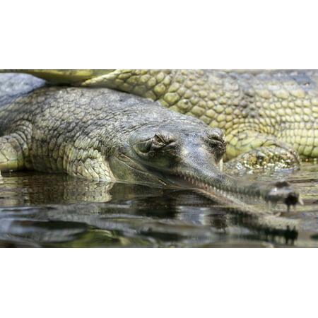 Alligator Canvas - Canvas Print Animal Gharial Close-up Crocodile Alligator Gavial Stretched Canvas 10 x 14