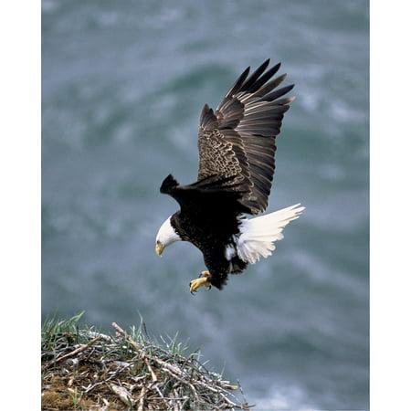 Canvas Print Eagle Landing Flight White Bird Bald Prey Flying Stretched Canvas 10 x (Flying Bald Eagle)