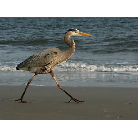 Canvas Print Bird Great Walking Blue Heron Wildlife Beach Stretched Canvas 32 x 24 ()
