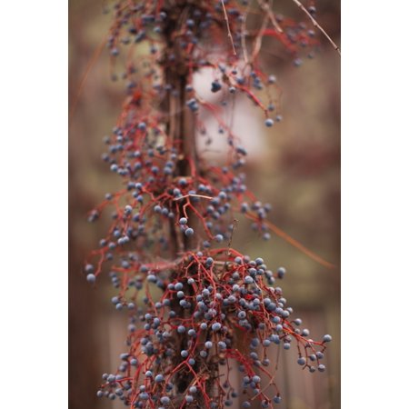 Berries on a tree Healdsburg Russian River Valley Sonoma County California USA Stretched Canvas - Panoramic Images (36 x 12)