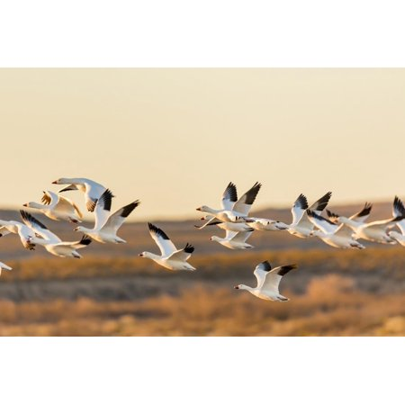 New Mexico, Bosque Del Apache Natural Wildlife Refuge. Mixed Geese Flying Print Wall Art By Jaynes