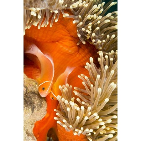 This common anemonefish (Amphiprion perideraion) most often found associated with the anemone (Heteractis magnifica) as pictured here male and female are tending to eggs recently attached to the - Male Names Associated With Halloween