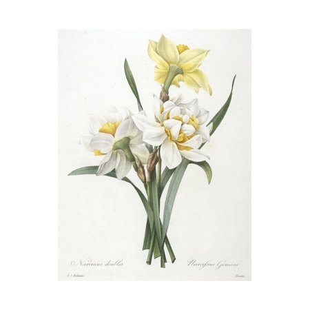 Narcissus Gouani (Double Daffodil), 1827 Print Wall Art By Pierre Joseph Redoute