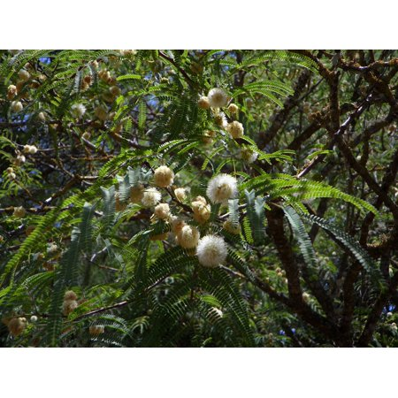 Canvas Print Ball Acacia Mimosa Mimosa Plant Blossom Tree Stretched