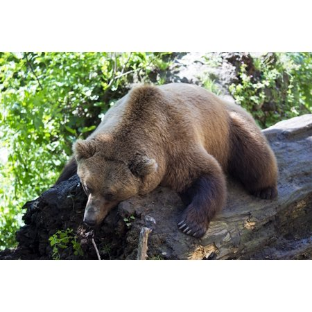 Canvas Print Sleeping On A Log European Brown Bear Afternoon Nap Stretched Canvas 10 x 14