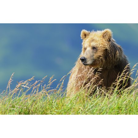 Portrait Of A Brown Bear Katmai National Park Alaska United States Of America Poster Print By Deb Garside  Design Pics