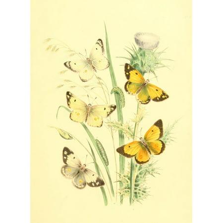 Genera & Species of B Butterflies 1860 Colias 1 Canvas Art - Henry N Humphreys (24 x (Species Of Butterfly)