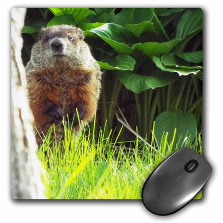 Peek A-boo Mouse (3dRose Groundhog Peek - Mouse Pad, 8 by 8-inch )