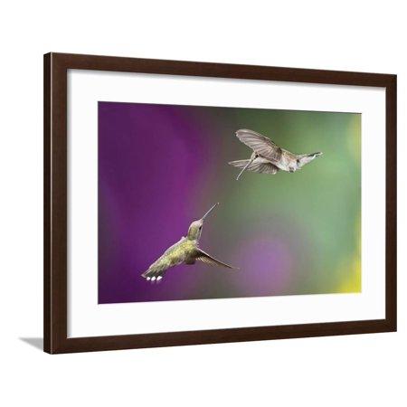 USA, Arizona, Madera Canyon. Two Female Hummingbirds in Flight Framed Print Wall Art By Jaynes