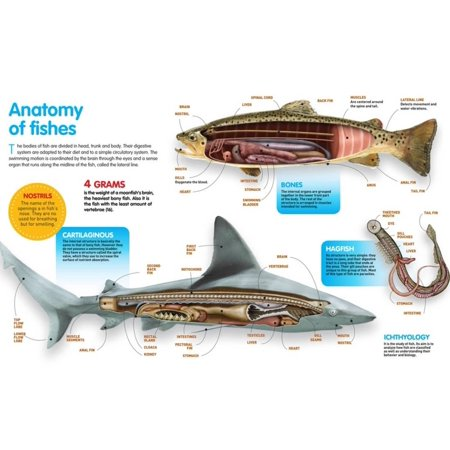 Infographic That Presents the Anatomy of Bony Fish, Cartilaginous ...
