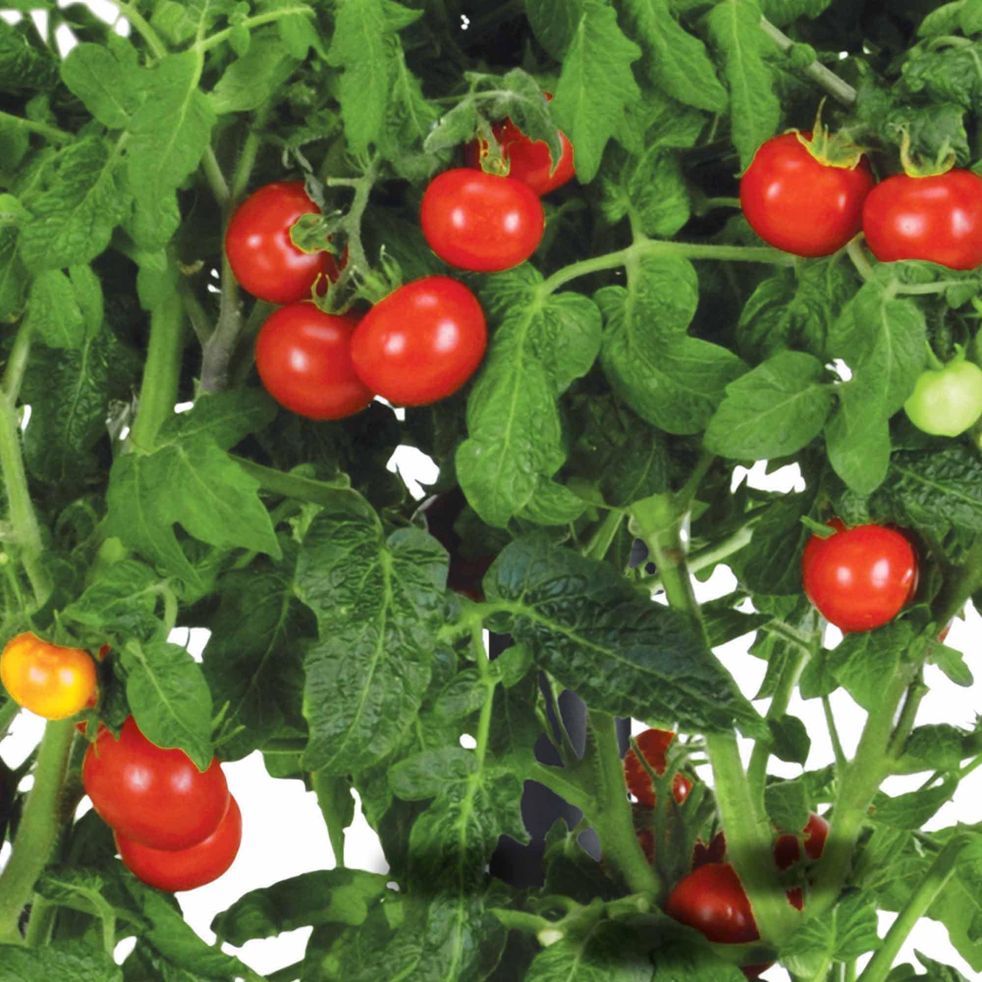 Miracle Gro AeroGarden Mega Cherry Tomato 7 Pod Seed Kit Walmartcom