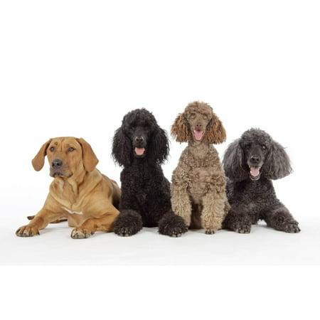 Black Poodle, Grey Poodle, Brown Miniature Print Wall Art - Walmart.com