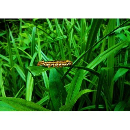 Peel-n-Stick Poster of Caterpillar Green Grass Grass Green Nature At Poster 24x16 Adhesive Sticker Poster Print