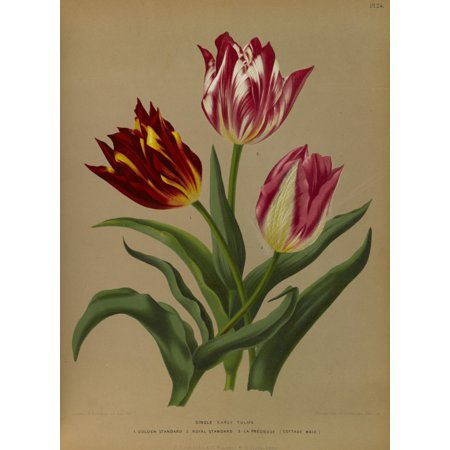 Haarlems Flora 1872 Single Early Tulips 1 Canvas Art - Arentine H Arendsen (18 x 24)