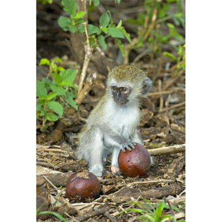 Panoramic Images Ppi95900 Vervet Monkey Holding A Seed Pod  Tarangire National Park  Arusha Region  Tanzania   Chlorocebus Pygerythrus Poster Print By Panoramic Images   17 X 24