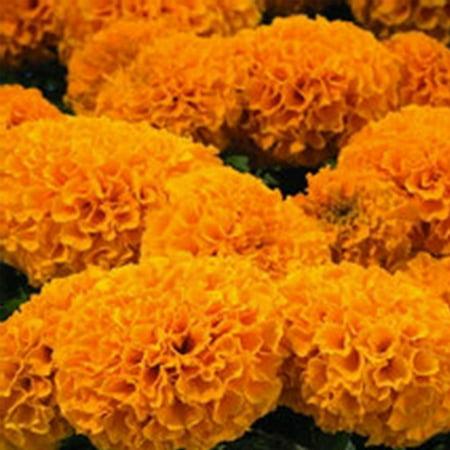 African Marigold Flower Garden Seeds - Discovery Series F1 - Orange - 100 Seeds - Annual Flower Gardening Seeds - Tagetes erecta