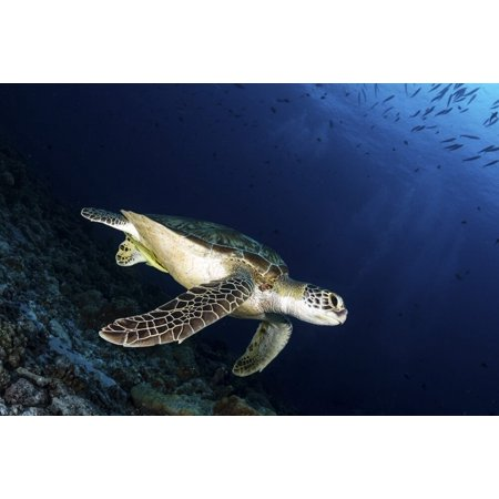A green sea turtle, Palau. Poster Print by Alessandro Cere/Stocktrek Images