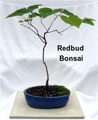 Don Egolf Chinese Redbud Tree Cercis Outdoors Or Bonsai 4 Pot Walmart Com Walmart Com