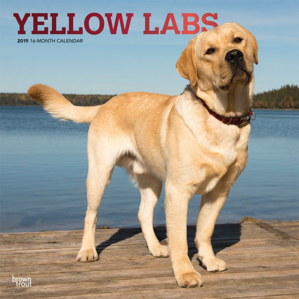 Lab Retriever Yellow Wall Calendar, Labrador Retriever by Calendars