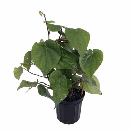 Betal Leaf Plant - Piper betel - Grow Indoors or Out - 6