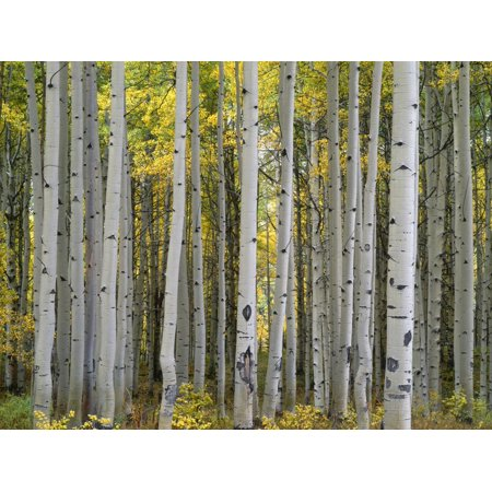 Colorado, Gunnison National Forest, Mature Grove of Quaking Aspen Displays Fall Color Print Wall Art By John Barger ()